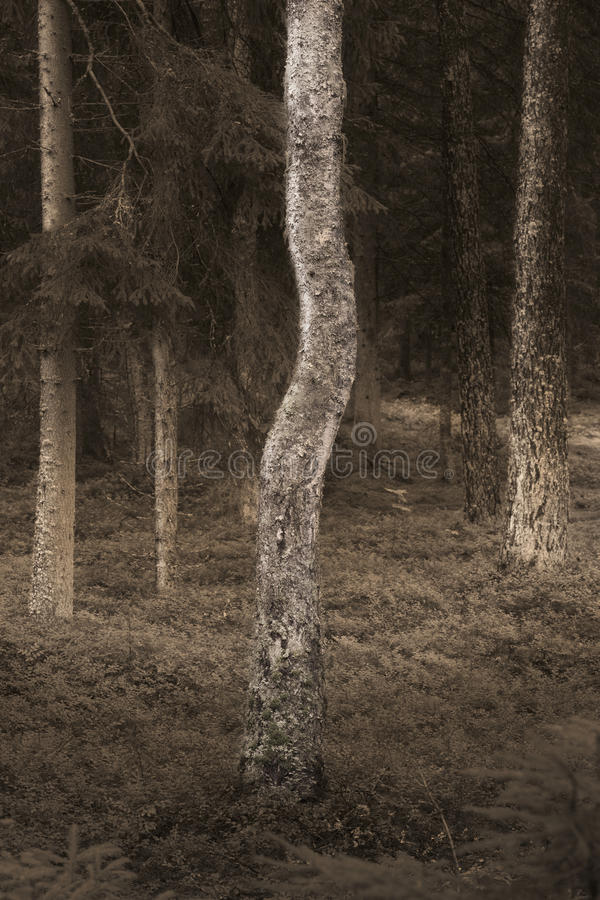 Birch tree in spooky forest royalty free stock photo