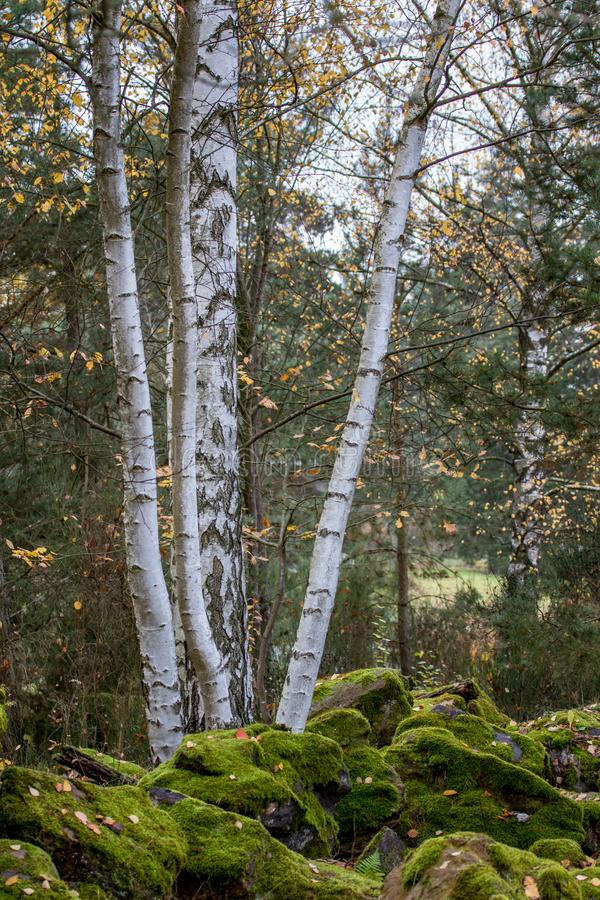 Birch tree with moss surrounded by autumn leaves stock images