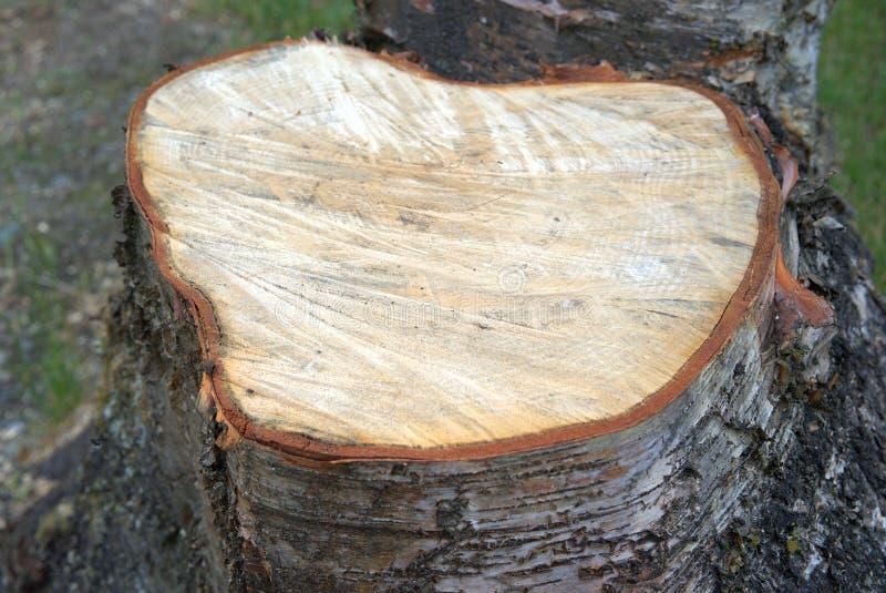 Birch Tree Stump Fresh Cut. Birch tree stump from tree being cut down recently with chain saw stock photo
