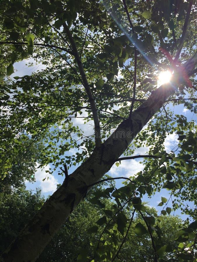 Birch tree stock photos