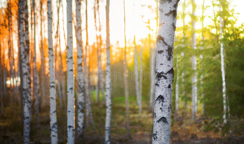 Birch tree at sunset royalty free stock photography