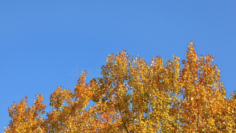 Birch tree tops in autumn, yellow leaves contrasting with blue sky space for text in upper part.  stock image