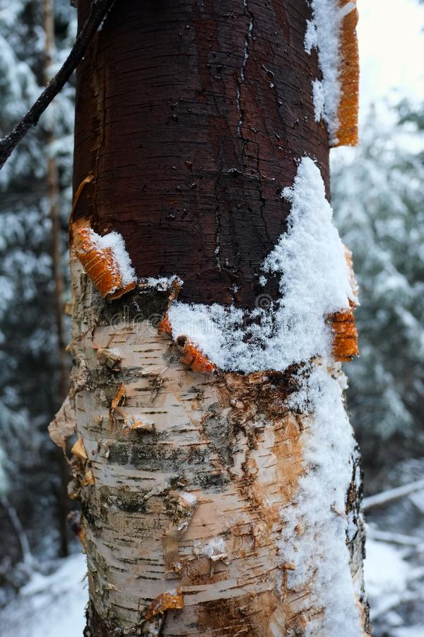 Birch tree trunk with damaged bark close-up in winter forest. Cold snowy weather in the mountains stock photography