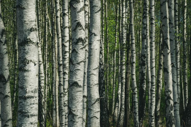Birch tree trunk textured background pattern. Sunlit summer scene in forest with green vegetation foliage stock image