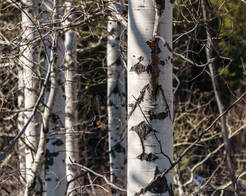 birch tree trunks in early spring closeup stock photography