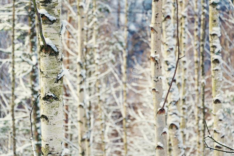 Birch tree trunks peaceful background, sunny winter day, snowy landscape stock photo