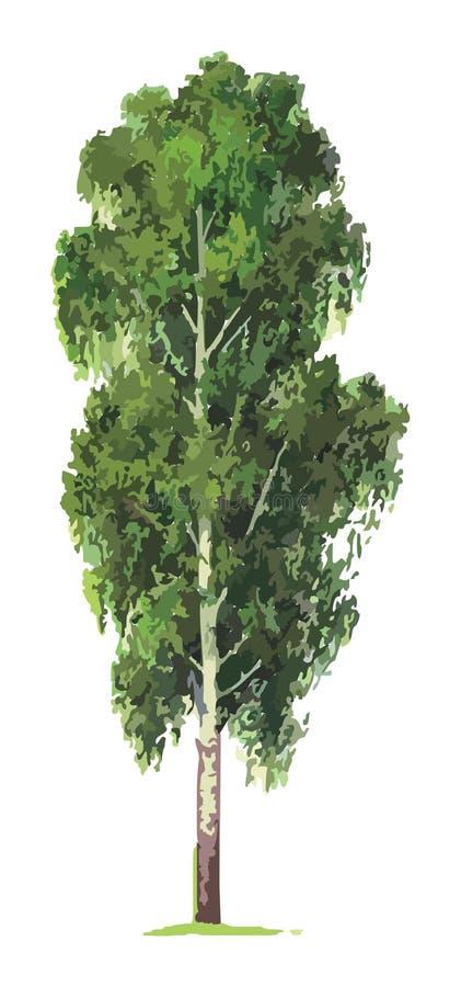 Birch tree. Vector. One abstract birch tree on grass