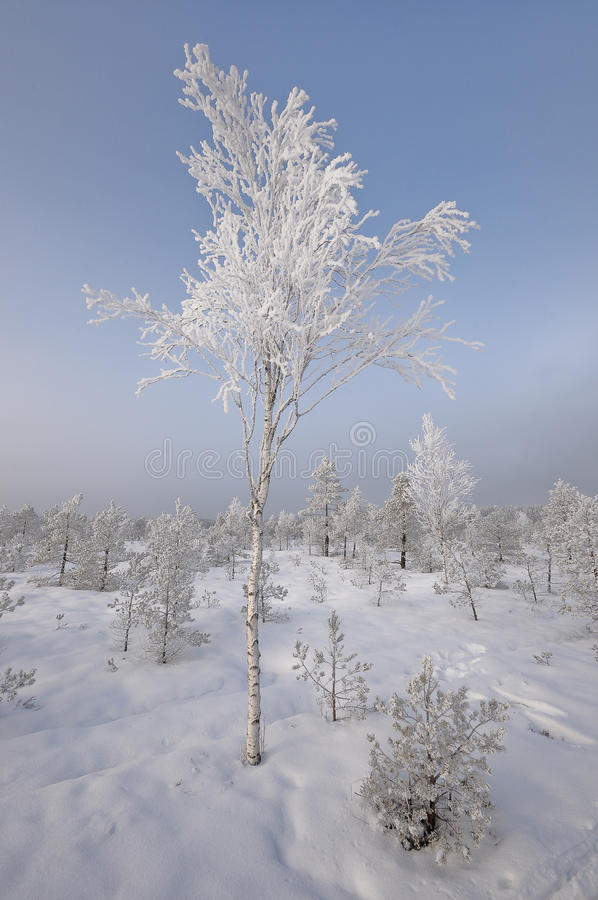 Download Birch-tree In Winter Stock Photo - Image: 19526790