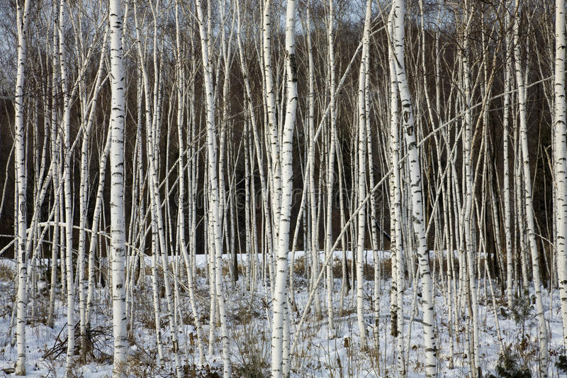 Birch trees. In a winter forest stock image
