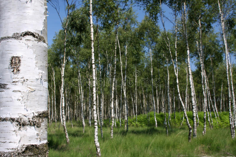 Download Birch trees stock photo. Image of landscape, majestic - 15603874
