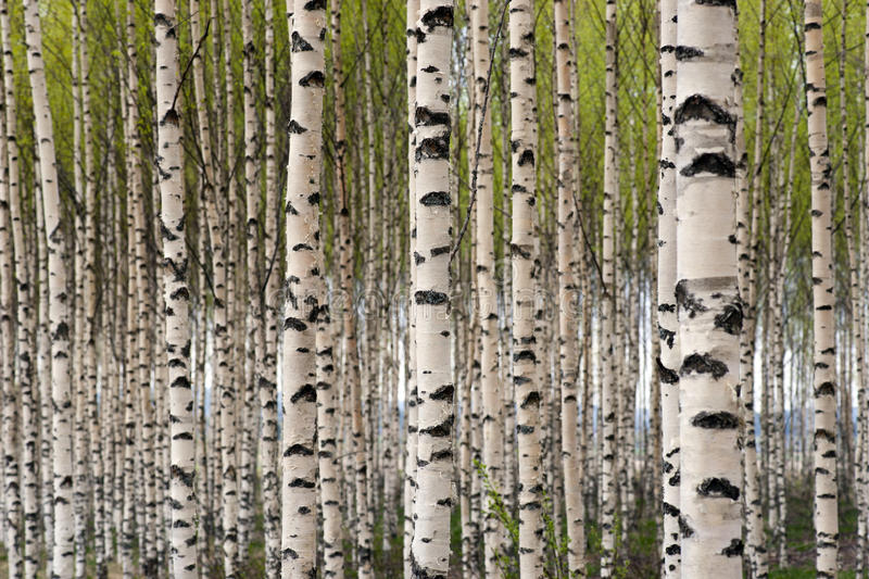 Birch trees. Grove of birch trees with green leaves in spring royalty free stock image