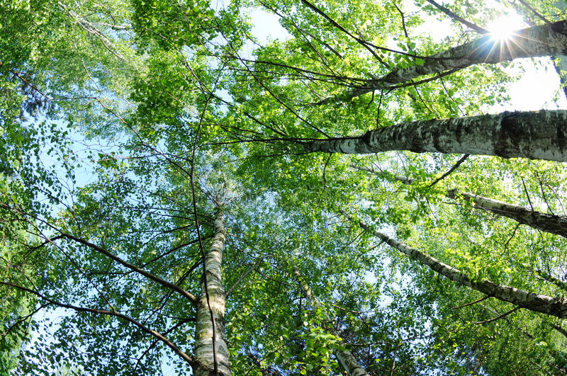 Birch trees. High birch trees with green leaves during early summer stock image