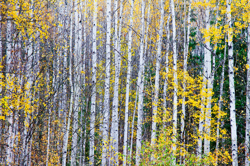 Birch trees. With yellow fall colors stock image