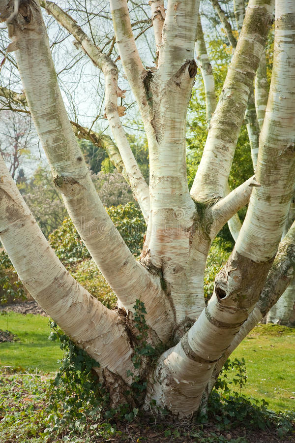 Birch trees. Several birch trees grown together as one big trunk royalty free stock image