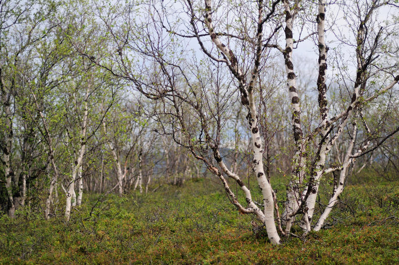 Download Birch trees stock photo. Image of forest, trunk, tree - 26319686