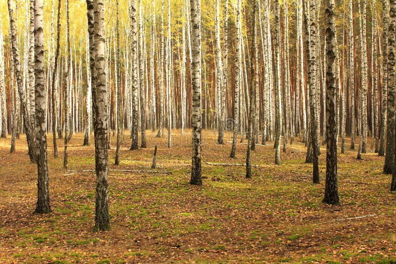 Birch trees. In autumn forest stock photography