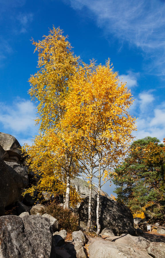 Birch Trees. Beautiful landscape with yellow birch trees and rocks in Fontainebleau forest in France stock images