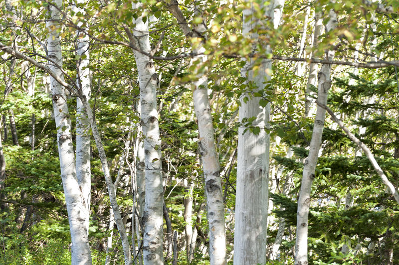 Download Birch trees stock image. Image of light, park, forest - 27550081