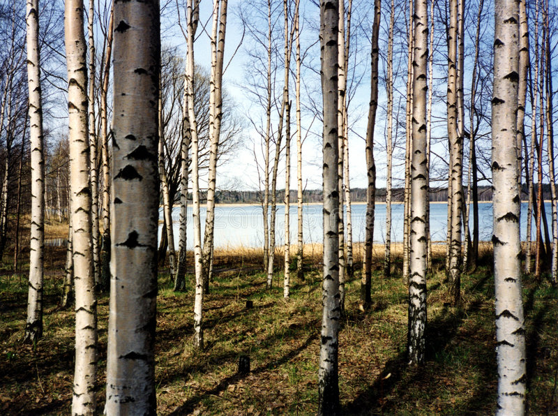 Birch trees. A forest of birch trees in Finland royalty free stock images