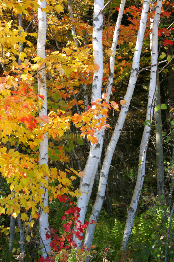 Download Birch Trees stock photo. Image of leaves, tree, fall, forest - 5575616