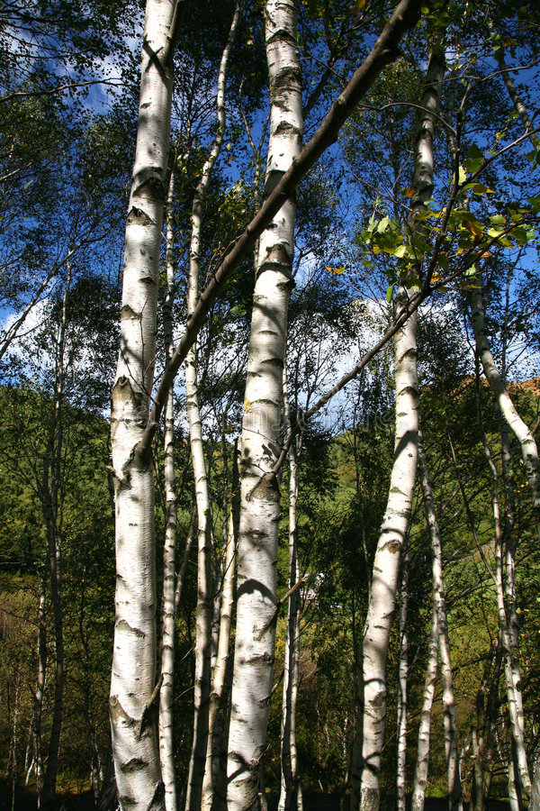 Download Birch trees stock photo. Image of woods, trees, autumn - 6650420