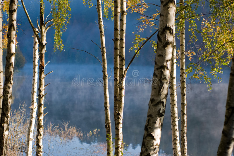 Birch trees. By the lake royalty free stock image