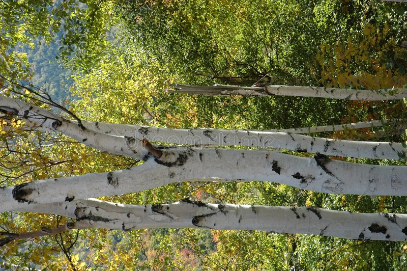 Birch trees stock images