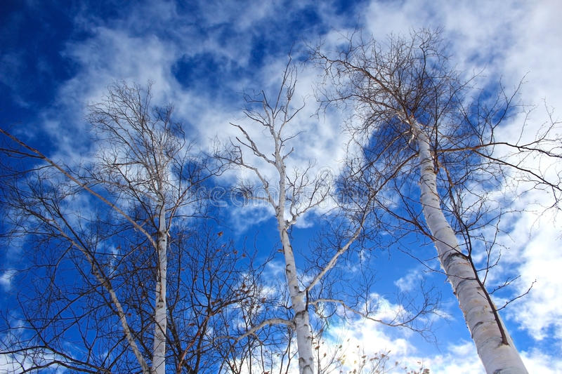 Birch trees against dramatic blue sky and clouds. Looking up at three birch trees against a dramatic background of fractured cirrus clouds and deep blue sky royalty free stock photo