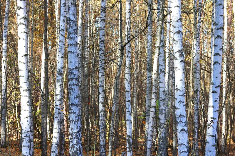 Birch trees in autumn. Beautiful birch trees with yellow leaves in autumn stock photos