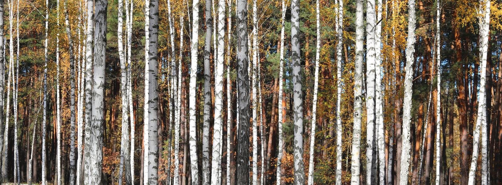 Birch trees in autumn. Beautiful birch trees with yellow leaves in autumn stock photo