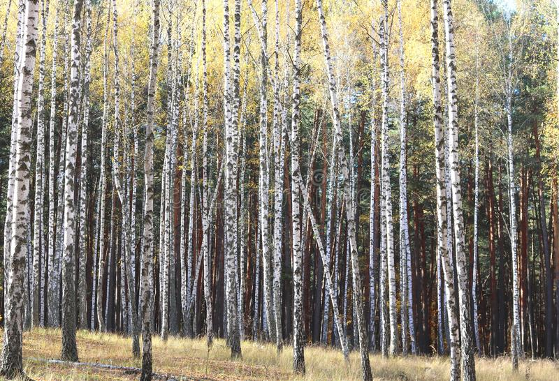 Birch trees in autumn. Beautiful birch trees with yellow leaves in autumn stock image