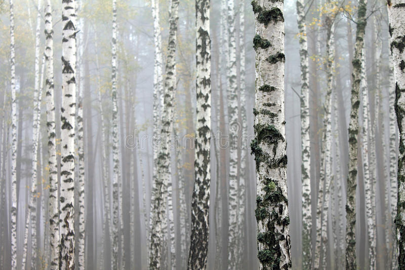 Birch trees in autumn forest in cloudy weather. Fall panorama stock photography