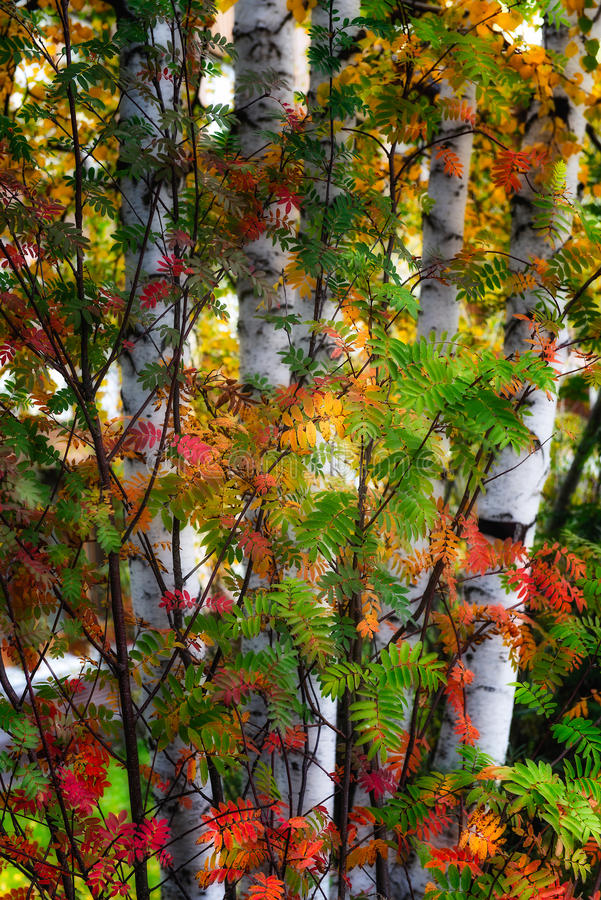 Birch trees. In autumn leaves stock photo