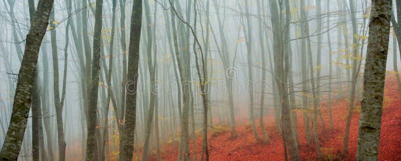 Birch trees in autumn stock photo