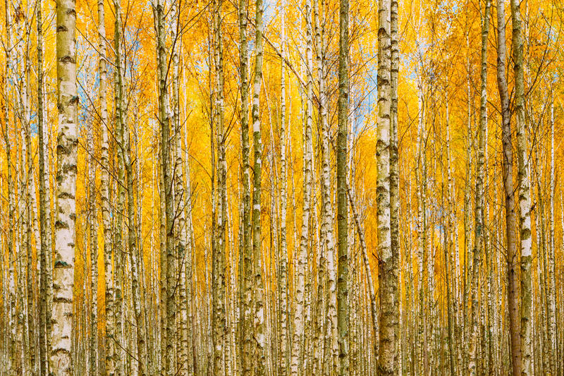 Birch Trees In Autumn Woods Forest. Yellow Foliage. Russian Fore. Birch Trees In Autumn Woods Forest. Yellow Foliage. Nobody. Russian Forest. Background royalty free stock photo