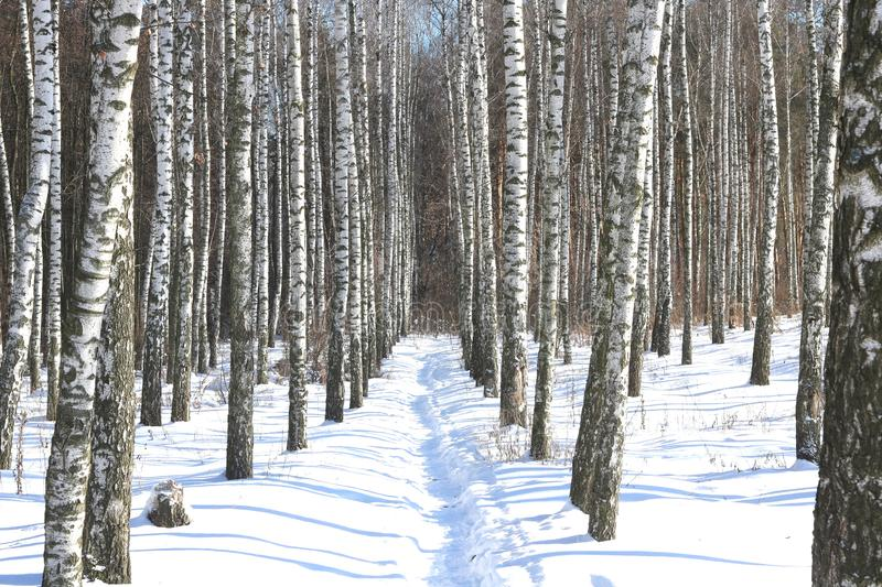 Birch trees with birch bark in birch forest among other birches in winter on snow. Black and white birch trees with birch bark in birch forest among other stock photography
