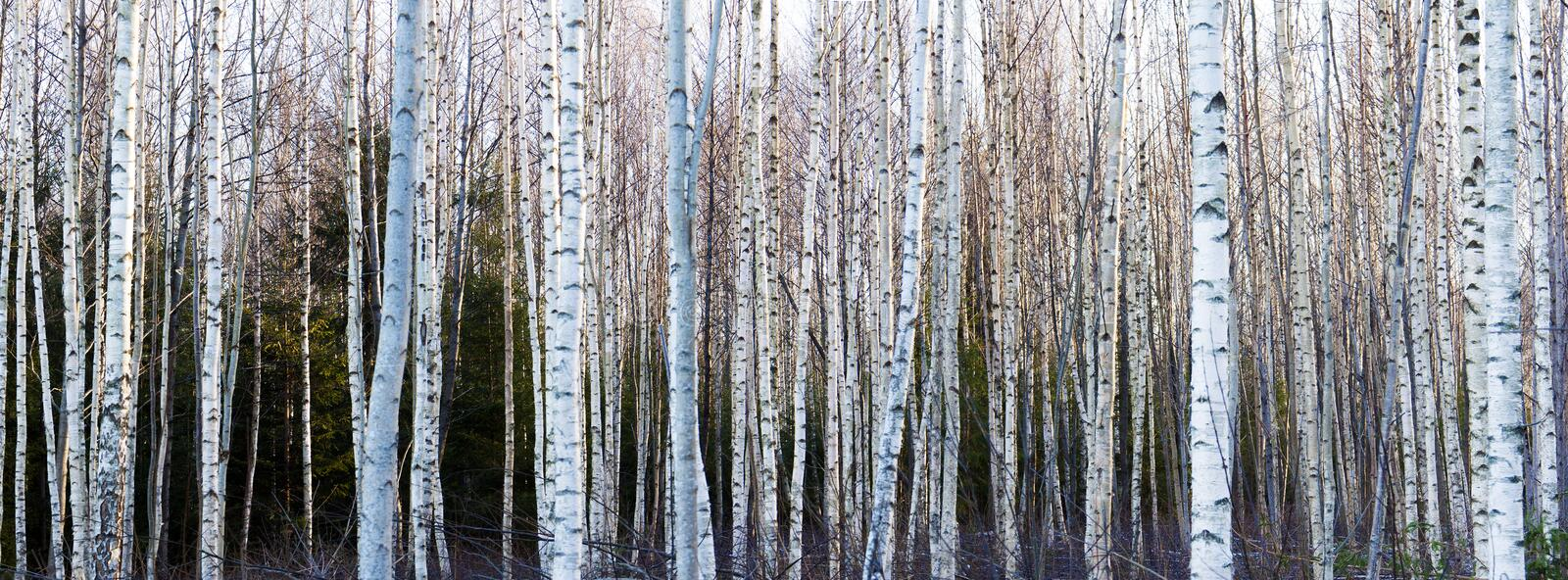 Birch trees. In bright sunlight stock photography
