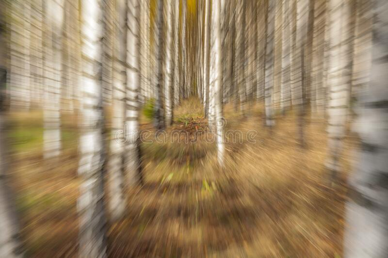 Birch trees on a bright sunny day. Abstract photo. Colorful textured background. long shutter speed, selective focus. Abstract photo, birch trees in autumn royalty free stock images