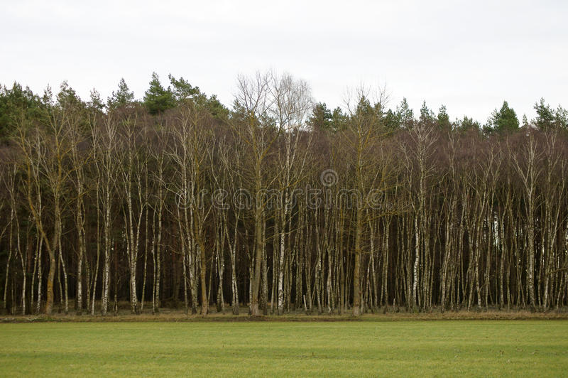 Birch trees at the edge of the forest stock photo
