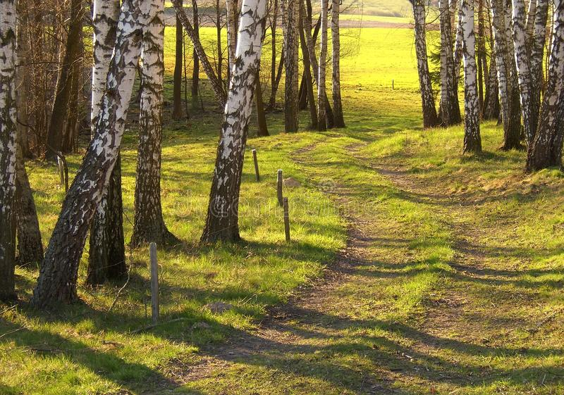 Birch trees stock image