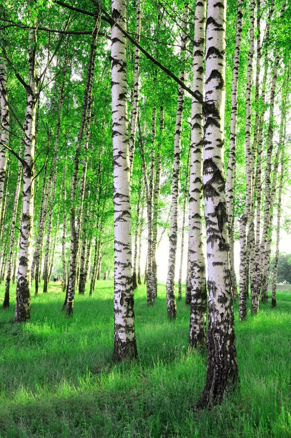 Birch trees in a forest. Birch trees in a summer forest royalty free stock photos