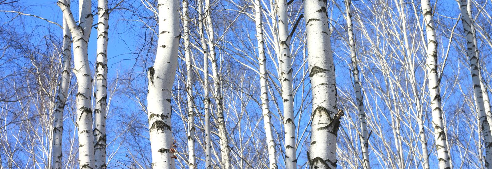 Birch trees in forest royalty free stock images