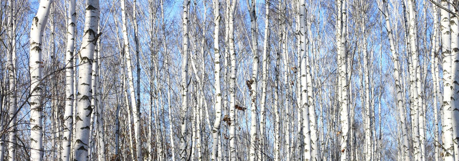Birch trees in forest. Trunks of birch trees in forest royalty free stock photo