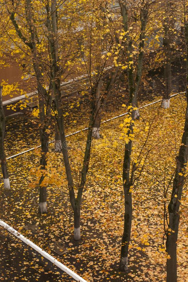 Birch trees in fall stock images
