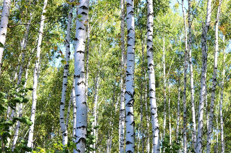Birch trees with green leaves and white trunks in summer. In birch grove royalty free stock photo