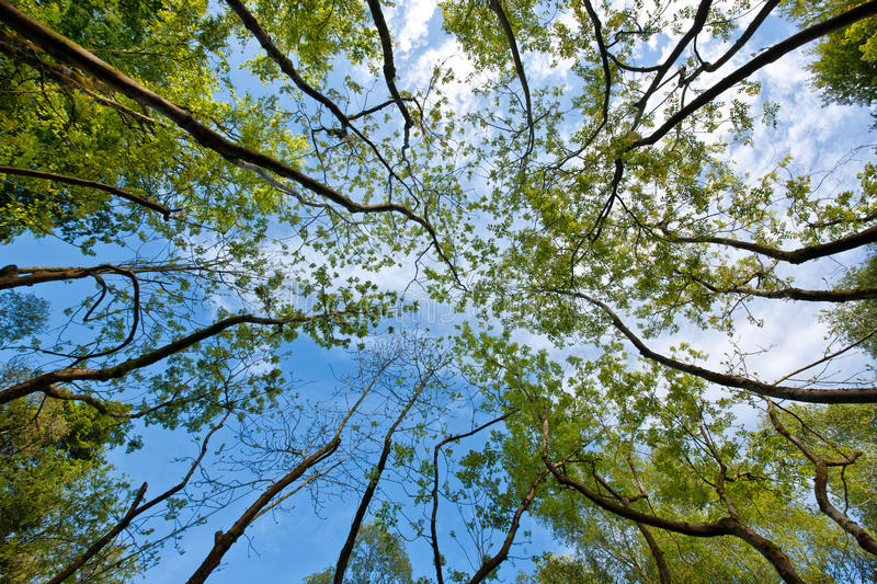 Birch trees. In a group stock images