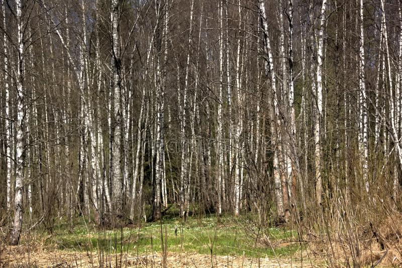 Birches. Spring wood. The birch trees growing in the spring wood stock photos