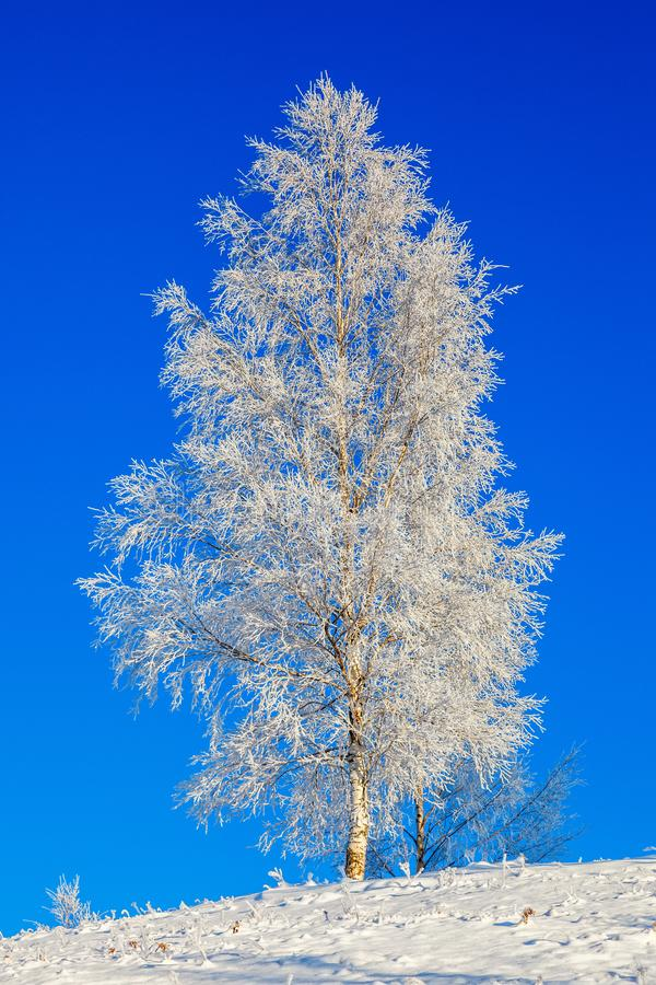 Birch trees with hoarfrost stock images