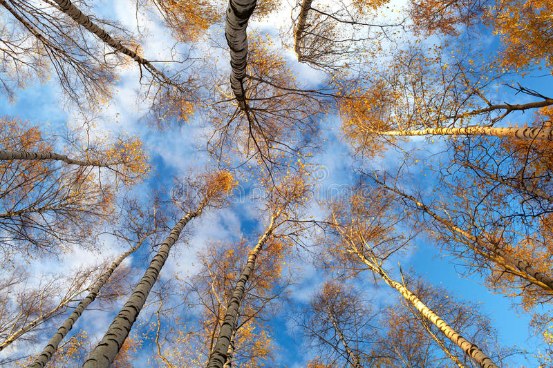 Download Birch trees. Low angle. stock photo. Image of directly - 28118274