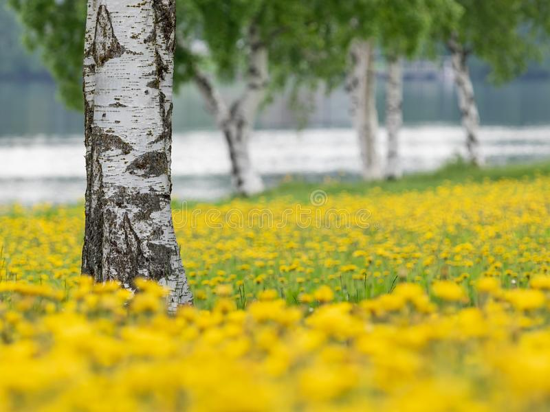 Birch trees in the midst of blossoming dandelions stock photo